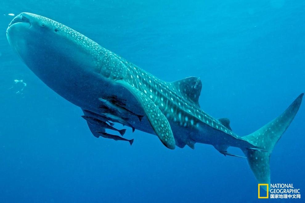 想和野生动物玩自拍?找鲸鲨吧!